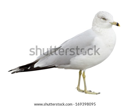 Ring-billed Gull (Larus delawarensis) with clipping path - stock photo