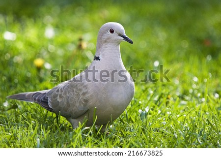Ring Neck Dove