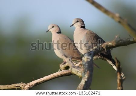 Ring-necked Dove (Streptopelia capicola) - stock photo