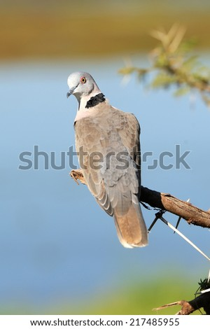 Ring-necked Dove (Streptopelia capicola) on a branch