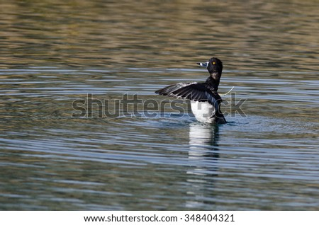 Ring-Necked Duck Stretching Its Wings While Resting on the Water