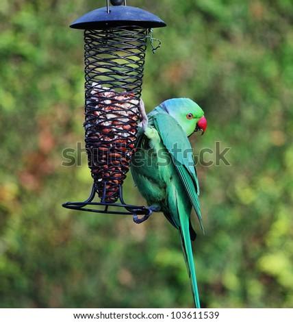 Ring necked Parakeet on a feeder in an english back garden (Psittacula Krameri) - stock photo