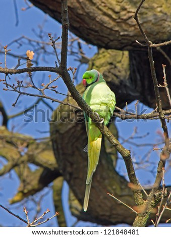 Ring-necked Parakeet perched in tree in London park - stock photo
