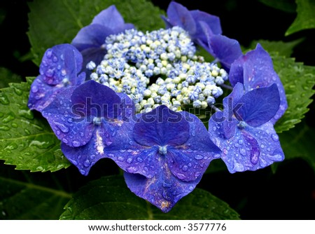 Ring of Hydrangea flowers in blue with white and blue buds in the center - stock photo