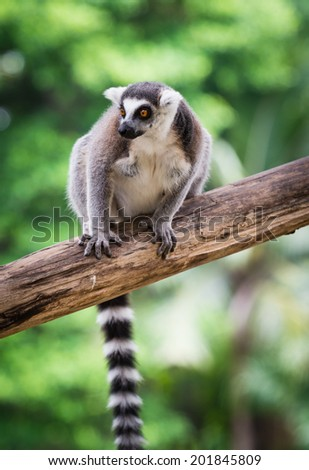 Ring tailed lemur - stock photo