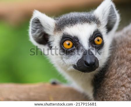 Ring tailed lemur - stock photo