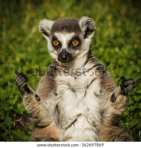 Ring-tailed Lemur - stock photo