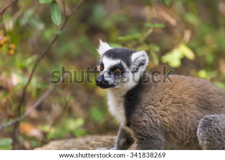Ring tailed lemur close up portrait in Madagascar - stock photo