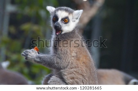 Ring-tailed lemur eating a carrot in the Budapest zoo