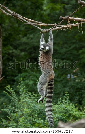 Ring-tailed lemur hanging the entire length on a clothesline in green vines