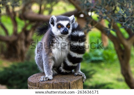 Ring-tailed lemur in an embrace with a tail - stock photo
