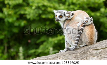Ring-tailed lemur in captivity, young on back - stock photo