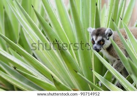 Ring-Tailed Lemur in Madagascar - stock photo