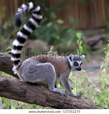 ring-tailed lemur in zoo - stock photo