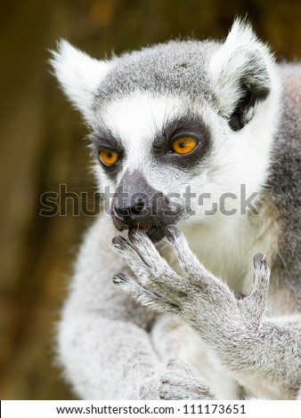 Ring-tailed lemur (Lemur catta) cleaning it's claw in a dutch zoo - stock photo