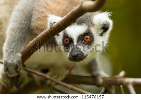 Ring-tailed lemur (Lemur catta) in a dutch zoo