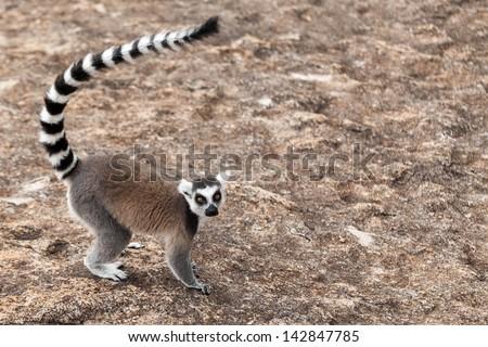 Ring-tailed lemur-Lemur catta in Madagascar - stock photo