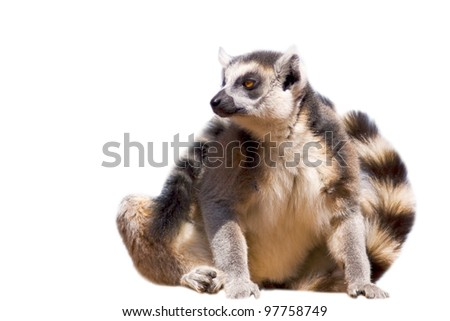 Ring-tailed lemur (Lemur catta) - isolated on white background - stock photo