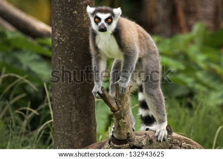 Ring-tailed Lemur (Lemur catta) looks out with big, bright orange eyes and watches from a branch in Madagascar. This is a large and endangered (near threatened) lemur species. - stock photo
