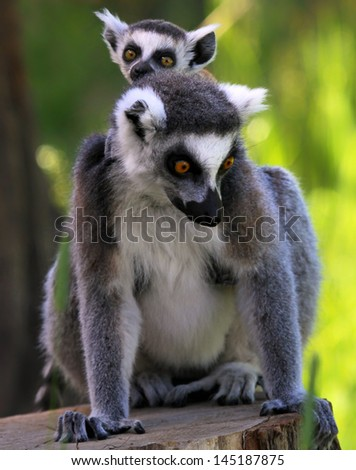 Ring-tailed lemur (Lemur catta) - Mother and child - stock photo