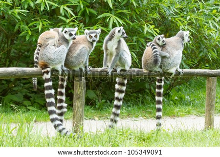 Ring-tailed lemur on a row in a dutch zoo - stock photo