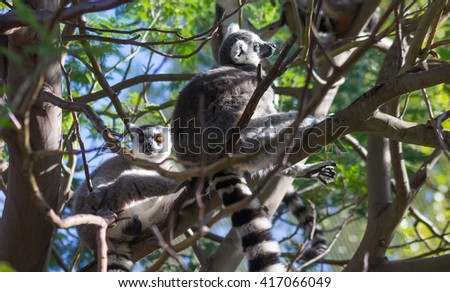 Ring Tailed Lemur or white front (Lemur catta)