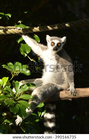Ring-tailed lemur sit on a tree branch looks at the camera.The ring-tailed lemur is listed as endangered by the IUCN Red List due to habitat destruction, hunting and the exotic pet trade. - stock photo