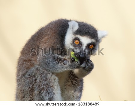 Ring tailed lemur sitting and eating fruits on yellow background - stock photo