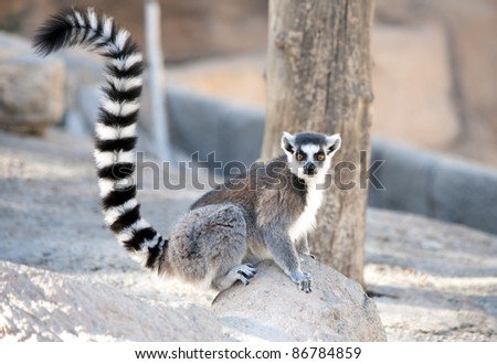 Ring Tailed Lemur sitting on a rock - stock photo