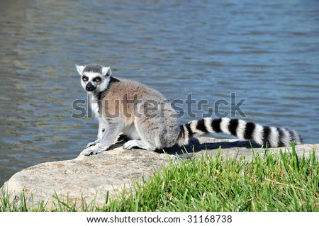 Ring-tailed Lemur sitting on a rock by the water - stock photo