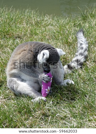 Ring-Tailed Lemur trying to get food out of bag. - stock photo