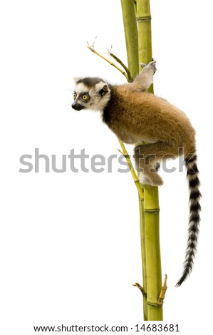 Ring-tailed Lemur (6 weeks) - Lemur catta in front of a white background - stock photo