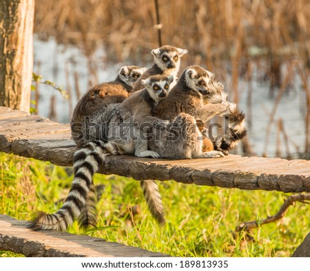 Ring tailed lemurs - stock photo