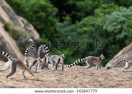 Ring-tailed lemurs family -Lemur catta in Madagascar - stock photo