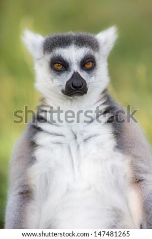 Ring-tailed lemurs (Lemur catta)  - stock photo