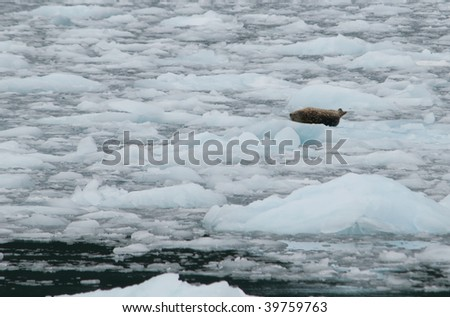 Ringed Seal resting on the ice at the Aialik Glacier in Kenai Fjords National Park - stock photo