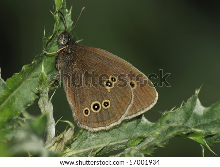 Ringlet Butterfly - Aphantopus hyperantus Resting on Thistle