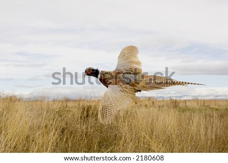 Ringneck Pheasant flying in the field. - stock photo