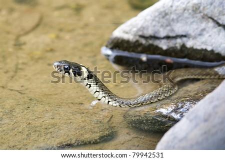 Ringsnake (Natrix Natrix) in the water - stock photo