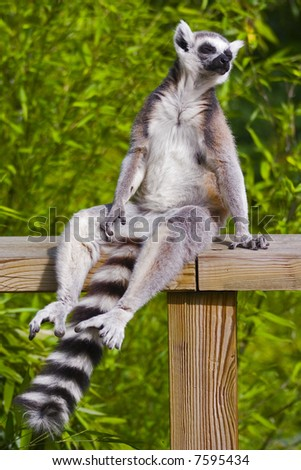 ringtailed lemur catta - stock photo