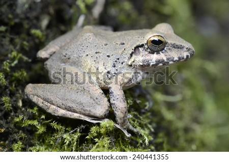 Rio Mamore robber frog (Pristimantis fenestratus) - stock photo