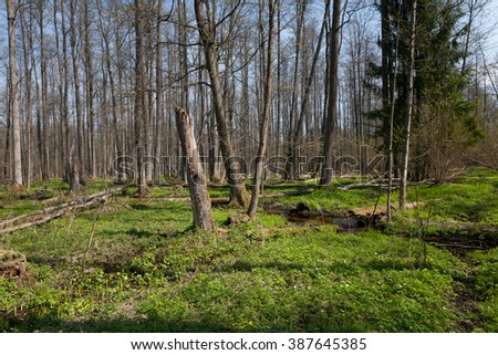 Riparian stand of Bialowieza Forest along slow flowing stream in midday full sun - stock photo