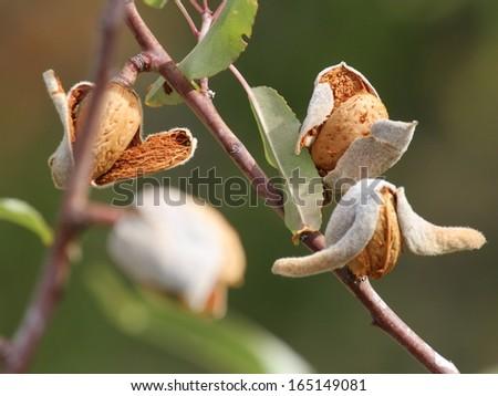 ripe almond seeds - stock photo