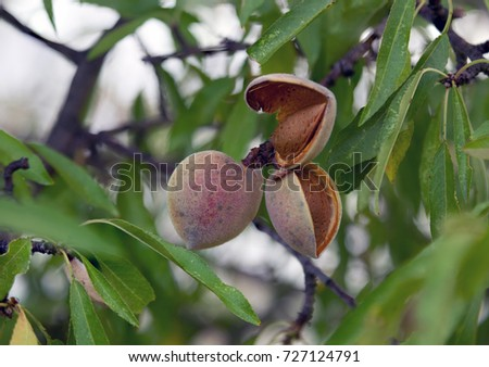 Ripe almonds nuts on the tree ready to harvest