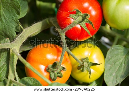 RIpe and green garden tomatoes ready for picking - stock photo