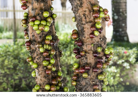 ripe and green jabuticaba fruit  on tree - stock photo