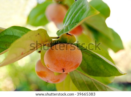 ripe and juicy persimmons waiting to be picked - stock photo