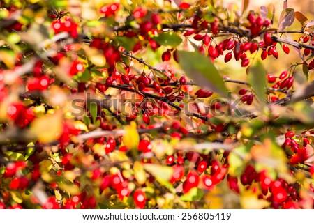 Ripe and red barberries shrubs, closeup - stock photo