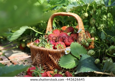 Ripe and sweet fresh strawberry in wicker basket on bed in garden. Summer sunny day, harvest  - stock photo