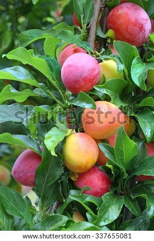 Ripe and tasty plums on the tree in the garden - stock photo